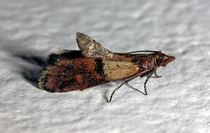 Indian Meal Moths And Other Pantry Pests