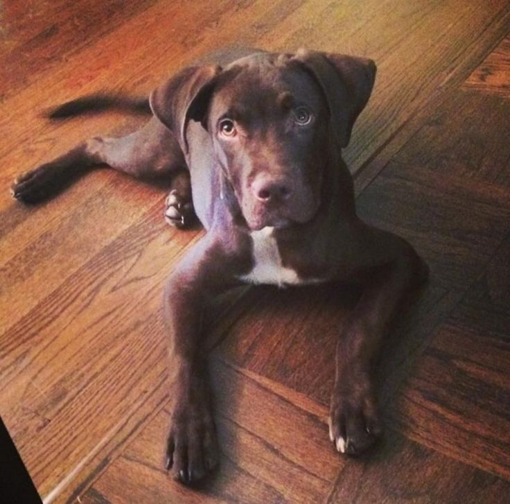 Chocolate lab pit bull mix puppies