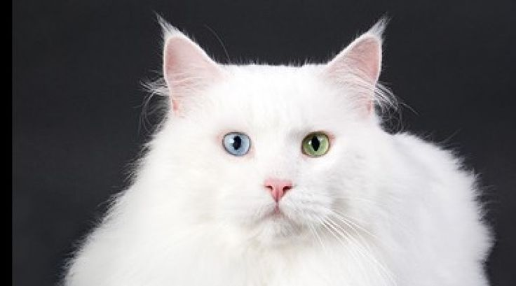 #MaineCoon #Odd #Eyed #Cats #White Sandy Beaches' A Touch of Percy