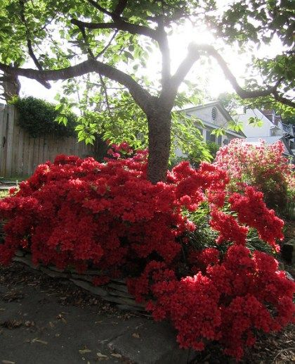 17 best images about azaleas amazing on pinterest for Best flowers to grow in california