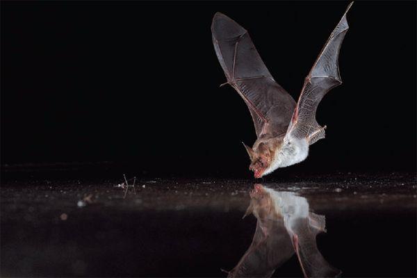 """Képtalálat a következőre: """"bat flying water photography"""""""