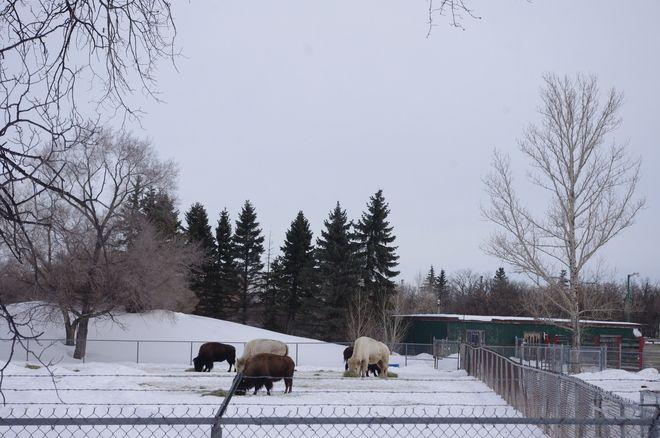 White Bison @AssiniboinePark