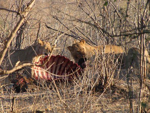 Lions having lunch, Botswana