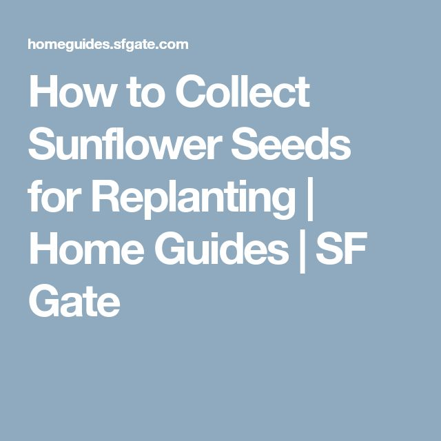 How to Collect Sunflower Seeds for Replanting | Home Guides | SF Gate