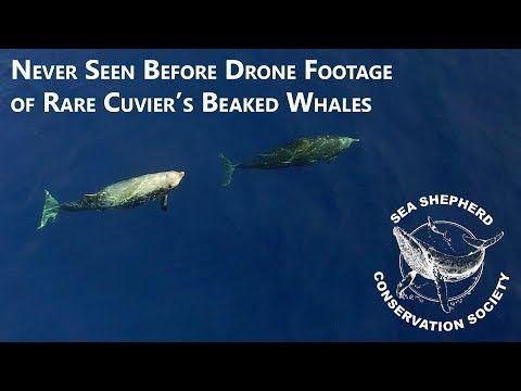 Rare Cuvier Beaked Whale Video | InsideHook