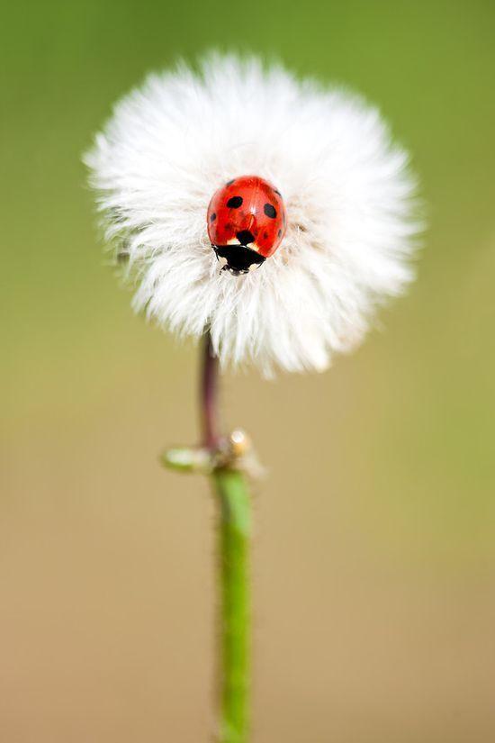 Fluffy Ladybug Landing The Basket Bike Girl® : Fotografia