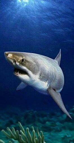 ▪El tiburón blanco (Carcharodon carcharias) es una especie de pez cartilaginoso lamniforme de la familia Lamnidae que se encuentra en las aguas cálidas y templadas de casi todos los océanos. Esta especie es la ÚNICA, el género Carcharodon que sobrevive en la actualidad.