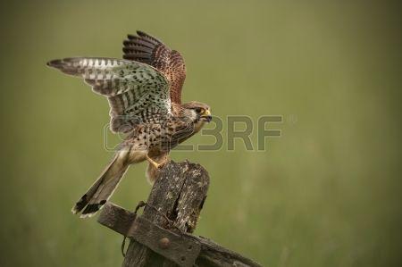 Torenvalk landing op een oude houten gate A vrouwelijke Torenvalk Falco tinnunculus is net geland op Stockfoto