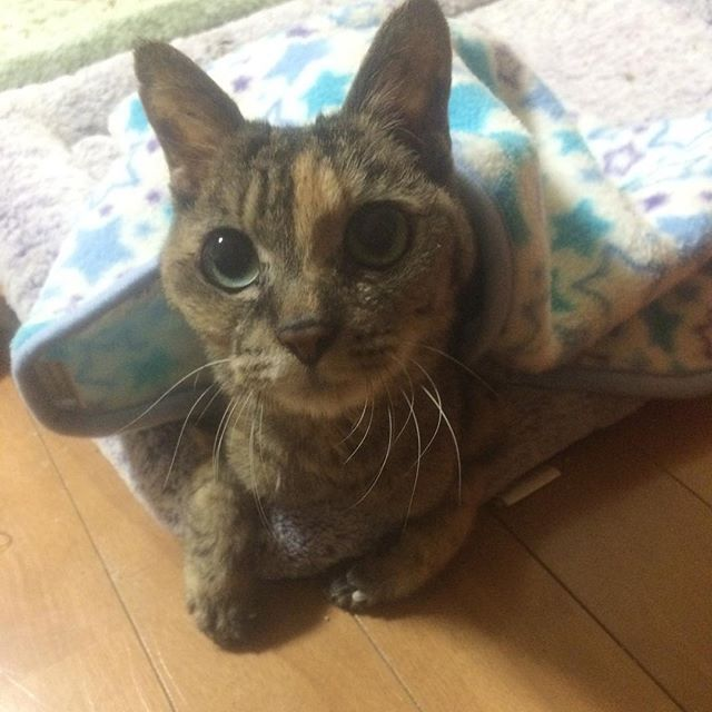 可愛い😍😽☺️ 寒い冬に段ボールの中で鳴いてたので、連れて帰ってきました。 しかも腹出てて、タヌキみたいだなぁと思ってたら、妊娠してて、5日後に仕事から帰ってきたら、産んでだという😅 あれから15年。レモンさん🍋、皆、元気です😊 あとの3匹はレモンさんの子供です😼😺😸 #ねこ  #ねこ部  #猫  #愛猫  #cat  #catsofinstagram  #catstagram  #cats