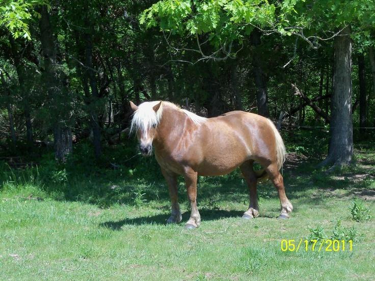 Millie, our new Haflinger mare.