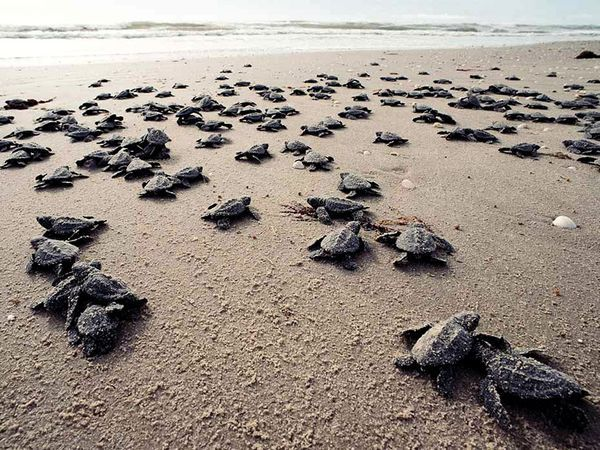 Unlike other sea turtles, female Kemp's ridley turtles come ashore to lay their eggs in the daylight hours.