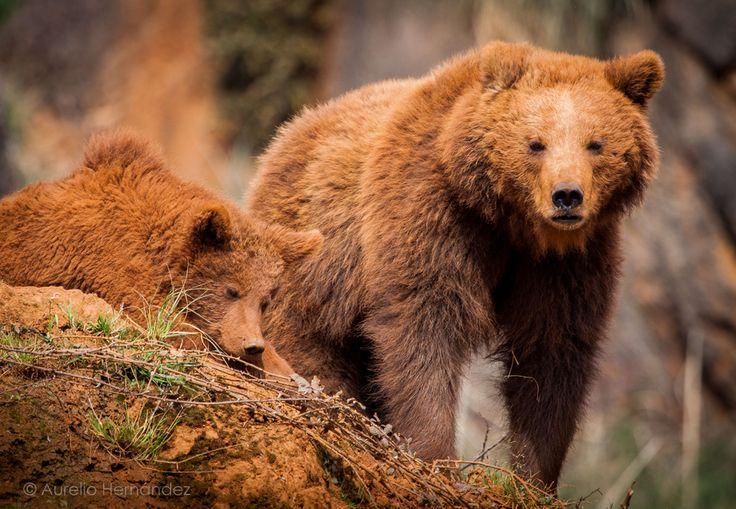 Brown bears at Cabarceno Natural Park in Cantabria, Spain