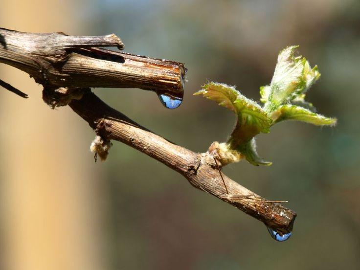 O cură cu SEVA VIŢEI-DE-VIE ne întăreşte considerabil sistemul imunitar - Top Remedii Naturiste