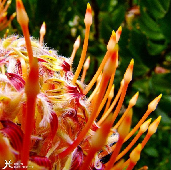 Orange Wild Protea Flower Print from South Africa- Fine Art Macro Photography by Original Artist Hellen Engelbrecht by MulberryBLUEDesigns on Etsy