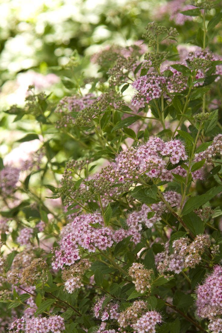 Plants for flower beds -  Y Little Princess Spirea West Northwest Flower Bed Weeping Cherry Area