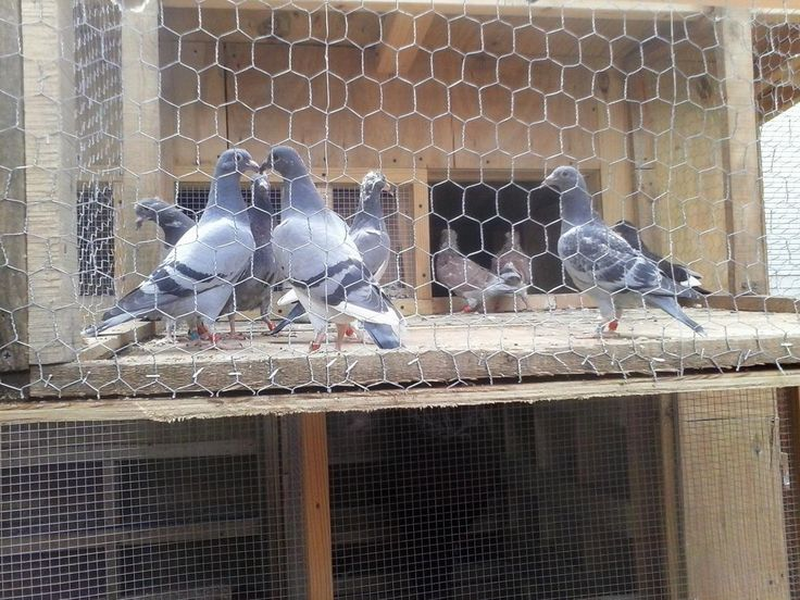 Homing Pigeons For Sale in Union, New Jersey - Hoobly Classifieds