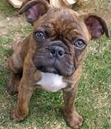 Brindle Pug English bulldog mix