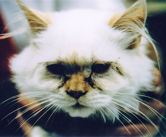 How To Cure Cat Eye Discharge?