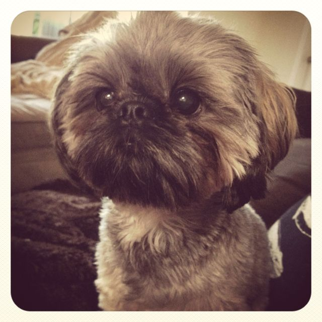 My family owns a shih tzu, and she [somewhat] looks like this.  My dog's name is Luna, and she is hyperactive.