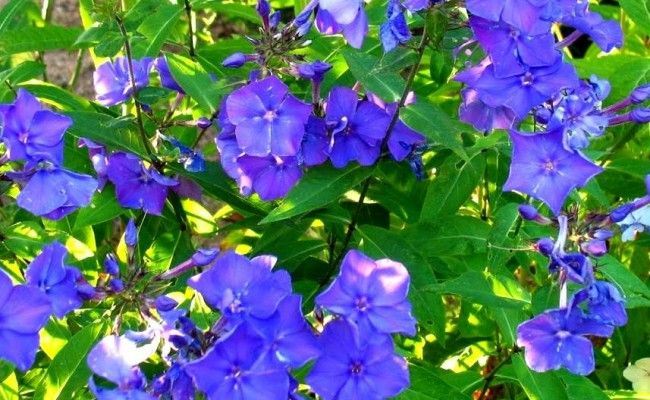 Floks wiechowaty 'Blue Paradise' (Phlox paniculata 'Blue Paradise')