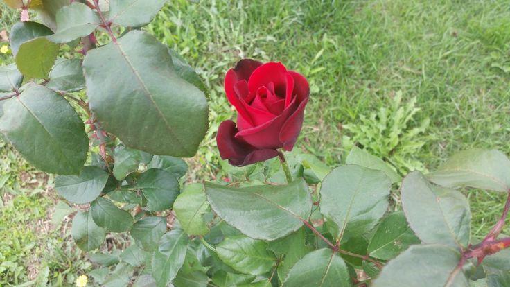 Red Roses ~ Rose Fans - Red Roses, White Roses, Pink Roses, Black Roses