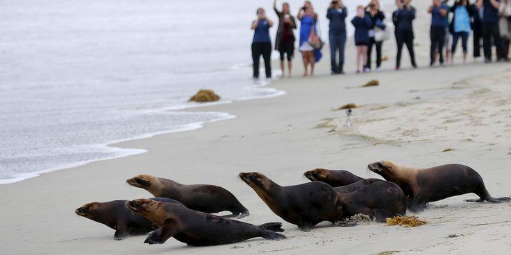 Leoni marini avvelenato sono stati rilasciati in California