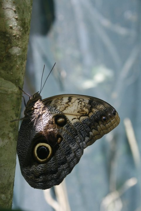 Gaint Owl butterfly, butterfly sanctuary in Copan Ruinas