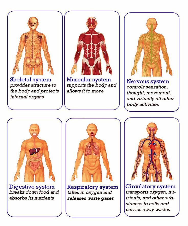 7 best Human Body System images on Pinterest | Human body systems ...