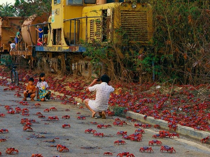 Migration of Red Crabs - Christmas Island, Australia - over 100 million at the beginning of wet seasons (late Nov, early Dec)