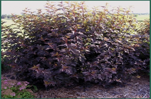 18 best images about shrubs for front yard on pinterest