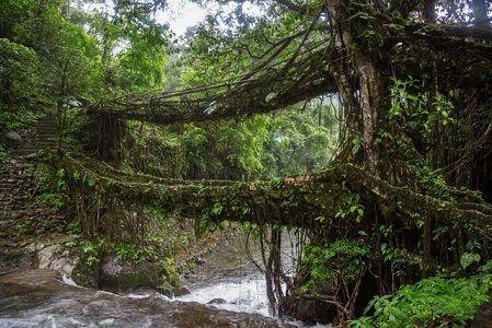 Hindistan'ın yaşayan köprüleri