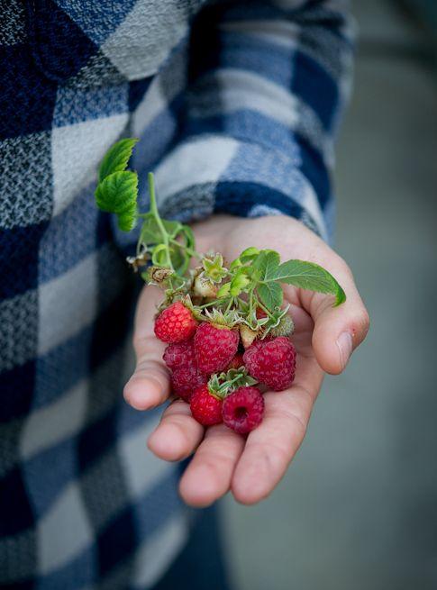 : Red Raspberries, Gardens Food, Raspberries Produce, Berries Seasons, Grown Raspberries, Rose Raspberries, Canbi Red, 2014 Gardens, Fresh Raspberries