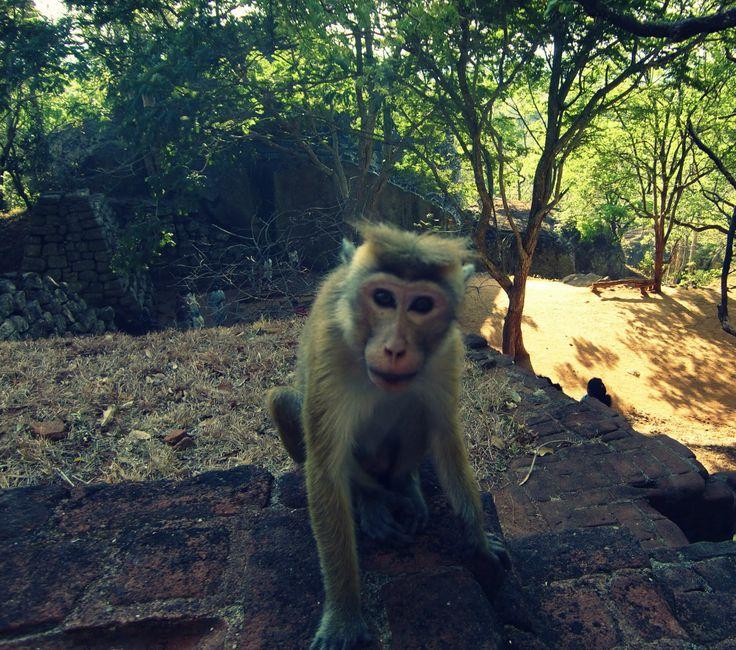 Funny monkey at Sigiriya rock's stairways.