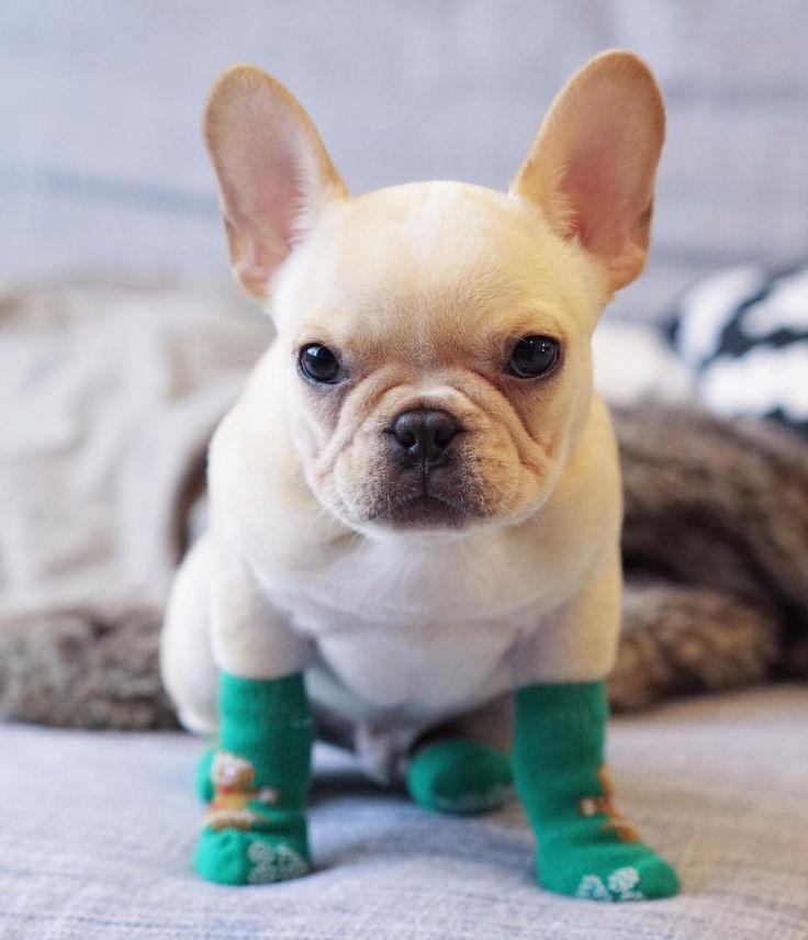 """It's already Sock Season again"", French Bulldog Puppy"