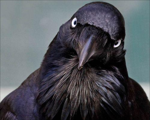 Australasian raven - smart and witty birds, everywhere in Lesley's  neighbourhood, lucky bird!
