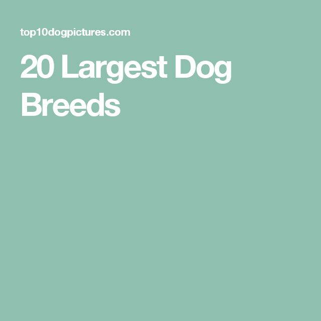 20 Largest Dog Breeds