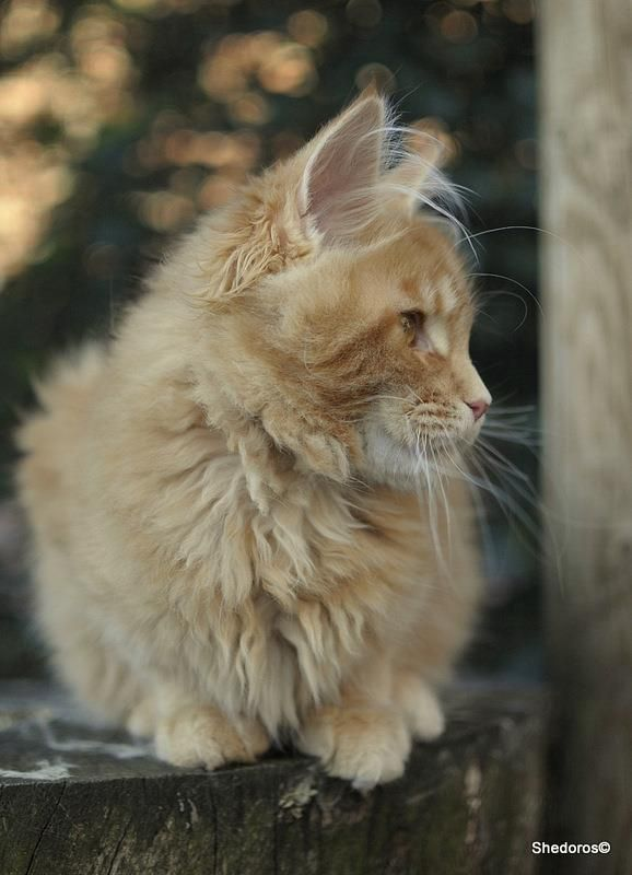 Shedoros Maine Coon Cattery ©Dorothea Scibura