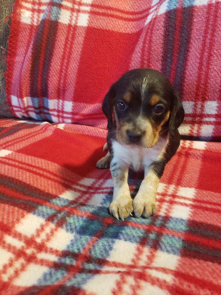 Alyssa beagle pupper for sale in sunbury pennsylvania