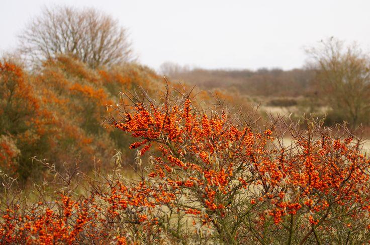 Noord-Hollands Duinreservaat, Netherlands. Dunes with sea-buckthorn (Hippophae rhamnoides)