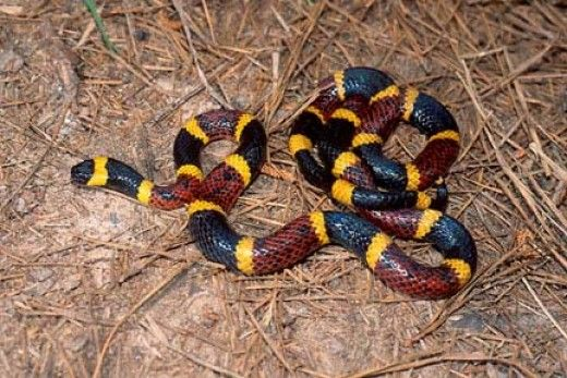 The Obama admin allowed ALL STOCKS of anti venom for coral snake bites to expire.  Thanks Obama!  America's most deadly snake's bite is a promise of death now.