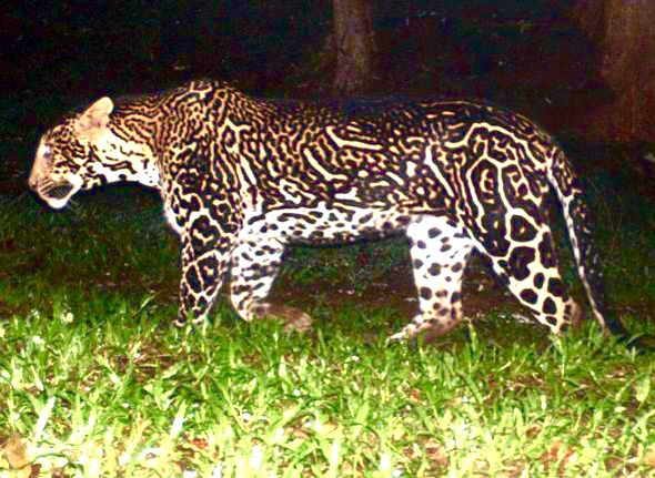 Color mutation on a leopard | DEFORMED ANIMALS & MUTANTS ...