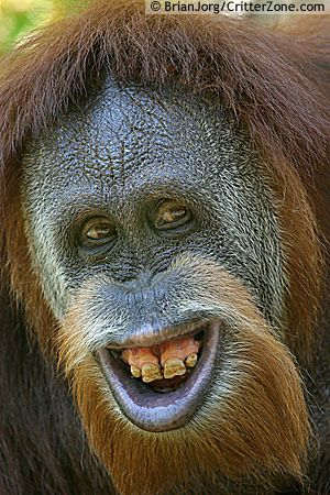 """hehehe"" .. said the monkey, some chimps never learn!"
