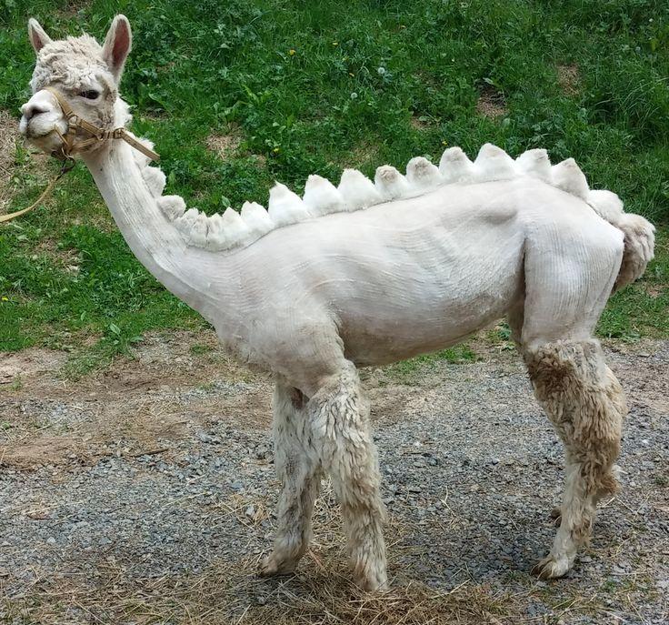 Dinosaur alpaca