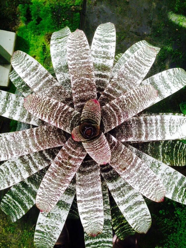 Vriesea 'Federal Beauty'