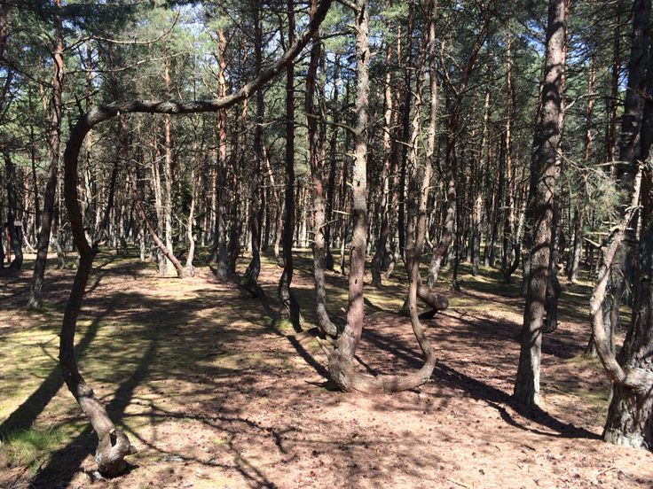 Танцующий лес/dancing forest Kaliningrad