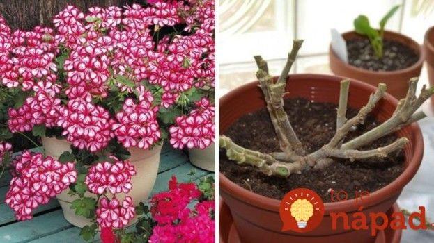 Krásne zakvitnuté muškáty vás budú tešiť aj o rok, musíte ich však správne zazimovať!