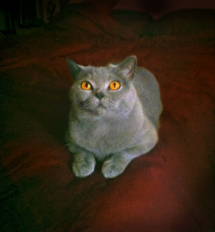 Zenja - British Shorthair