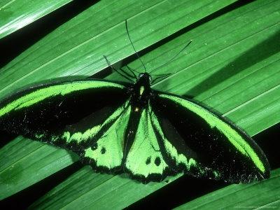 Cairns Birdwing butterfly at the butterfly sanctuary in Kuranda