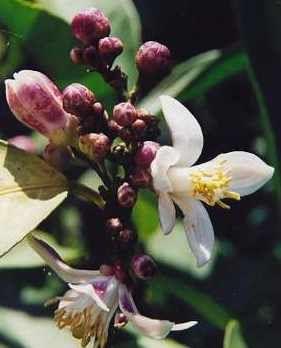 Citroen, Citrus limonum etherische olie werd traditioneel gebruikt voor de behandeling van malaria en typhus