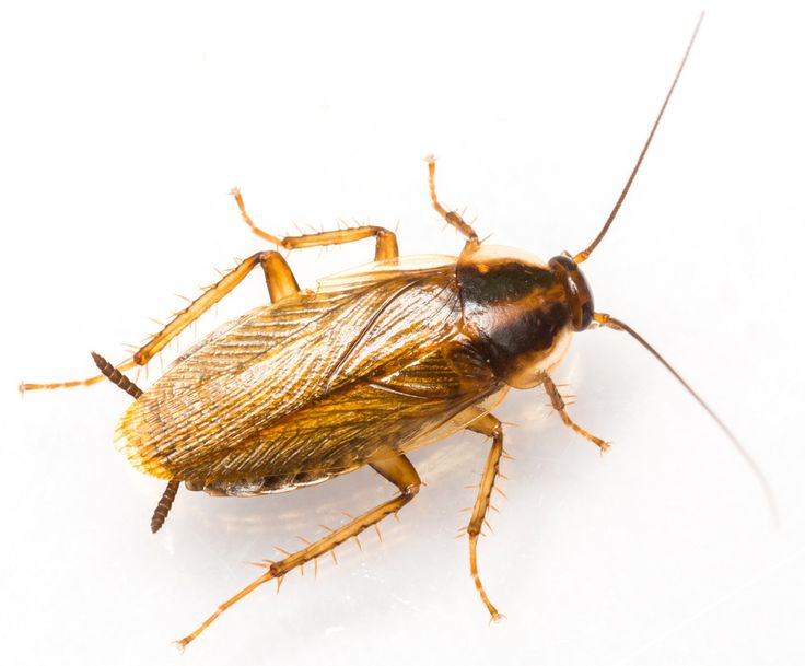 11 best Nature A CockRoach images on Pinterest